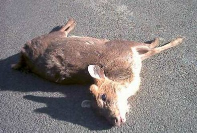 Muntjac Deer killed 05-10-02