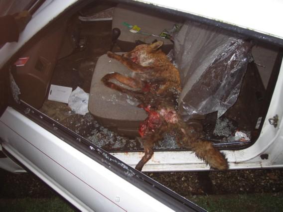 Fox dumped in sabs car