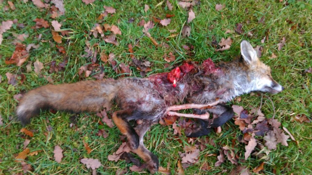 Fox Killed by Thurlow Hunt
