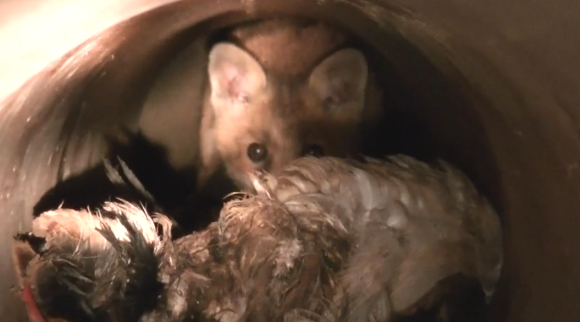 Fox cub held captive by the Pytchley Hunt.