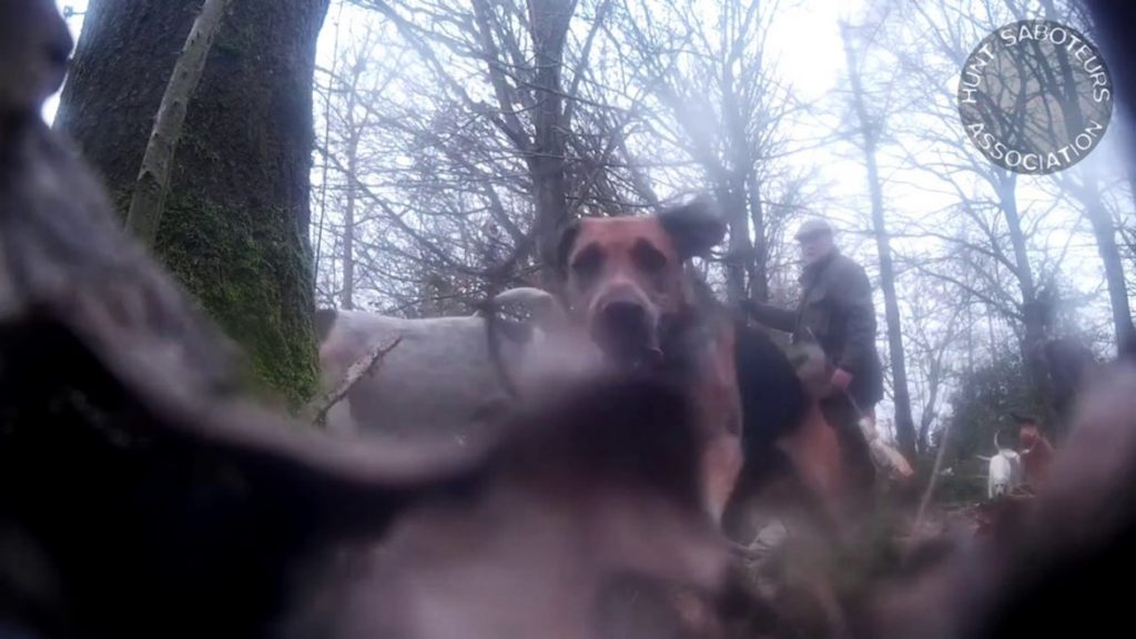 Kimblewick Hunt bolt a fox on New Year's Day, 2019.