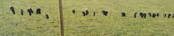 Grim: gamekeeper's 'gibbet line' of dead moles.