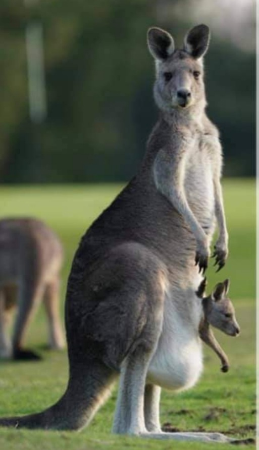 Magnificent 'roo and pouch joey.
