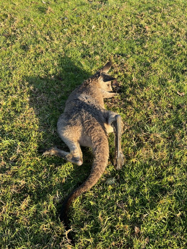 Slaughtered 'roo.