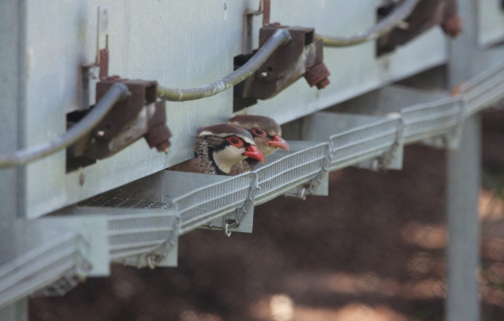 Partridges in a French game farm supplying the UK shooting industry