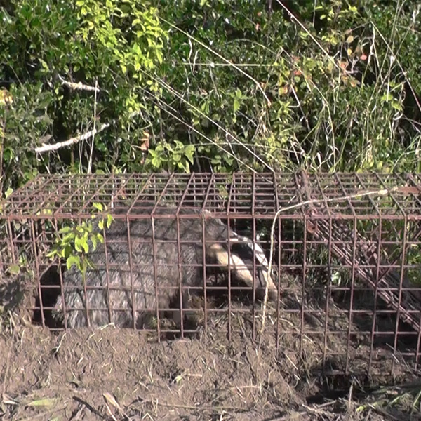badger in a trap
